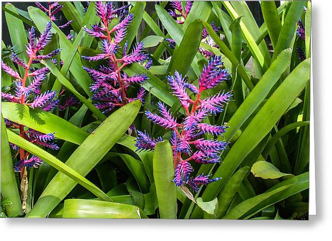 Bromeliad Photographs Greeting Cards - Colorful Bromeliad Greeting Card by Douglas Barnett