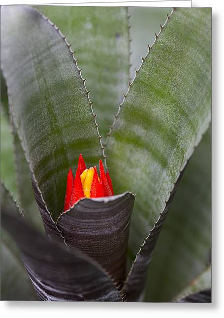 Bromeliad Greeting Cards - Colorful Bromeliad Greeting Card by Robert Storost