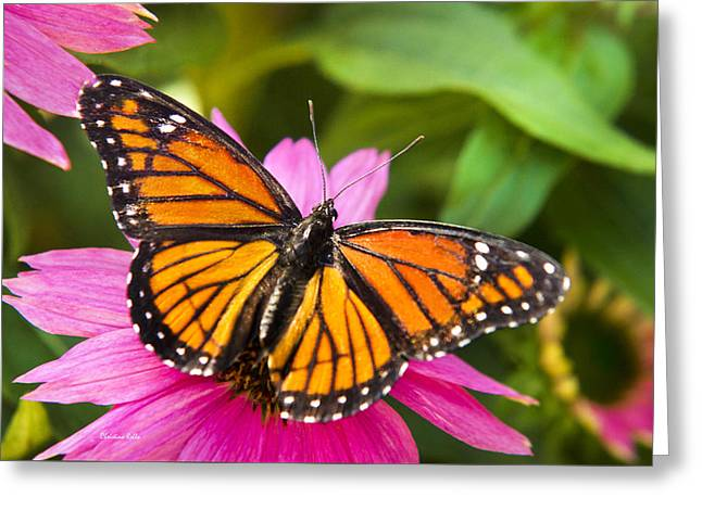 Butterfly On Flower Greeting Cards - Colorful Butterflies - Orange Viceroy Butterfly Greeting Card by Christina Rollo