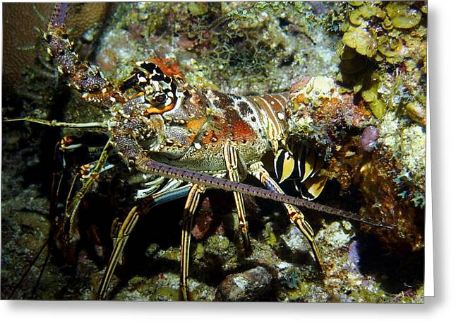 Snorkel Greeting Cards - Colorful Caribbean Reef Lobster near Reef Greeting Card by Amy McDaniel