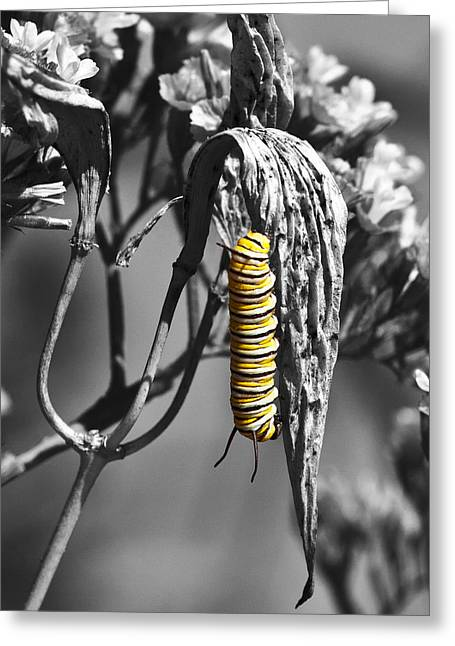Eating Entomology Greeting Cards - Caterpillar in Contrast Greeting Card by Richard Stephen