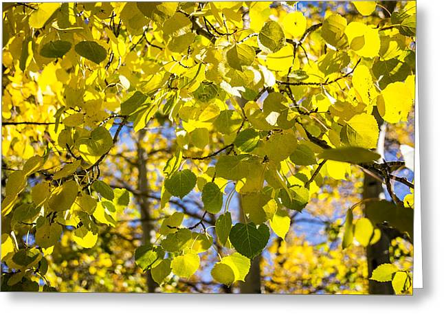 Color Change Greeting Cards - Colorful Changing Aspens Abstract - Estes Park Colorado Greeting Card by Brian Harig