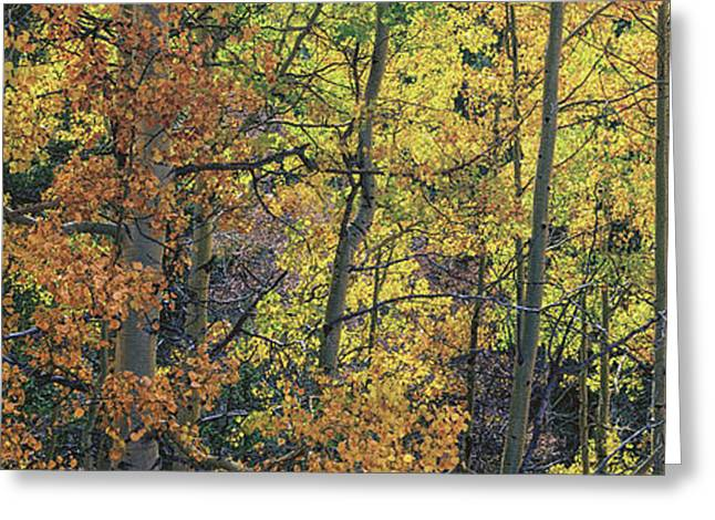Color Change Greeting Cards - Colorful Changing Aspens Panorama - Divide Colorado Greeting Card by Brian Harig