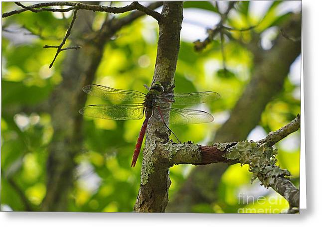 Green Darner Dragonflies Greeting Cards - Colorful Comet Greeting Card by Al Powell Photography USA