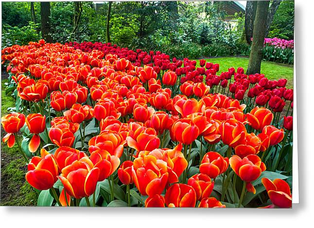 Crazing Greeting Cards - Colorful Corner of the Keukenhof Garden 2. Tulips Display. Netherlands Greeting Card by Jenny Rainbow