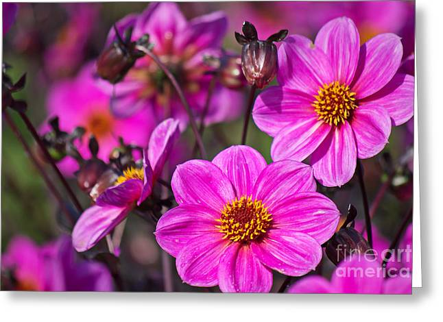 Gelb Greeting Cards - Colorful dahlia Greeting Card by Angela Doelling AD DESIGN Photo and PhotoArt