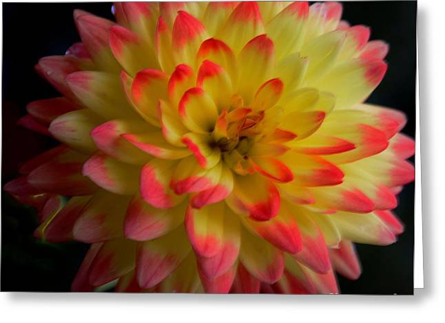 Struckle Greeting Cards - Colorful Dahlia Greeting Card by Kathleen Struckle