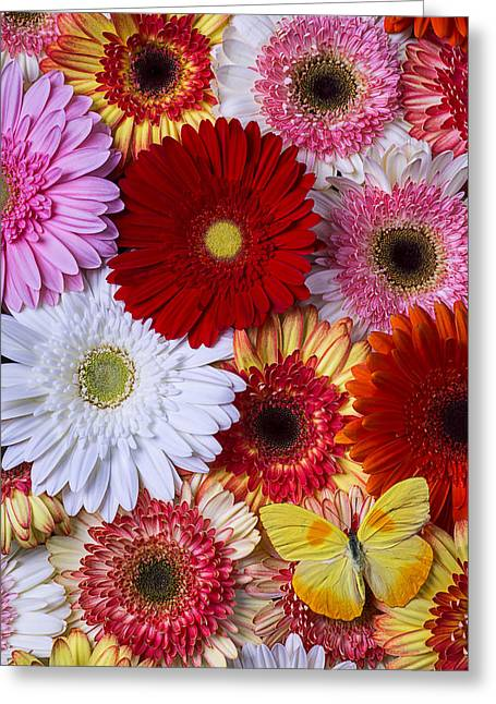 White Daises Greeting Cards - Colorful Daisys and Butterfly Greeting Card by Garry Gay