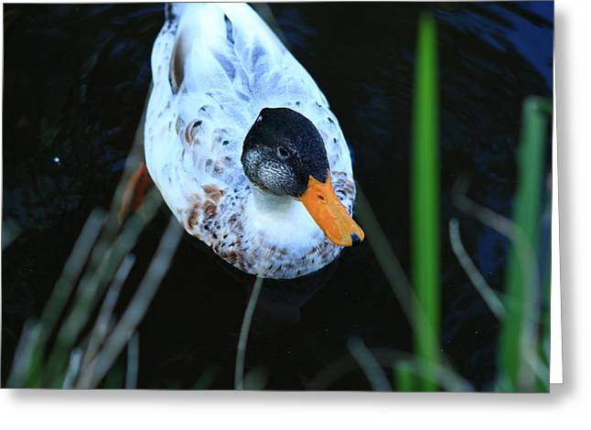Yellow Beak Greeting Cards - Colorful Duck On The Canal Greeting Card by Aidan Moran