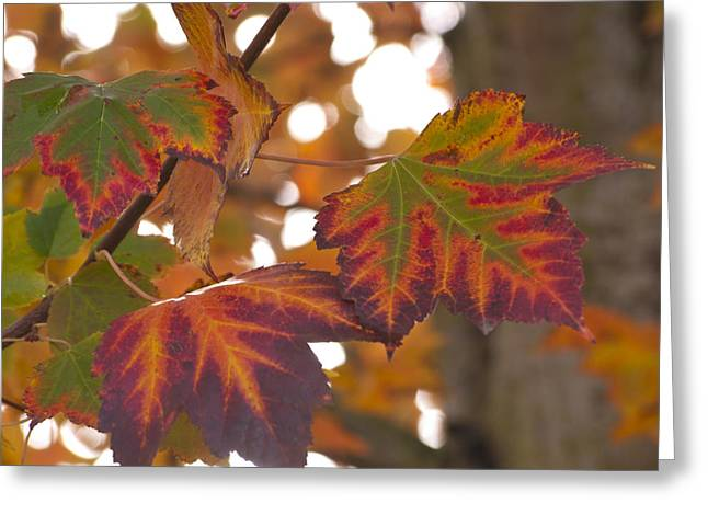 Garden Greeting Cards - Colorful Fall Leaves Greeting Card by Mandy Judson