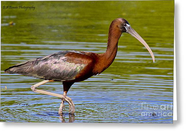 Birdwatching. B A Bowen Photography Greeting Cards - Colorful Glossy Ibis Greeting Card by Barbara Bowen