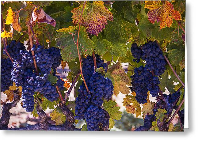 Grape Vineyard Greeting Cards - Colorful Harvest Greeting Card by Garry Gay