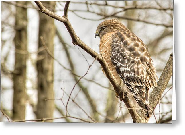 Top Seller Greeting Cards - Colorful Hawk Greeting Card by Francis Sullivan