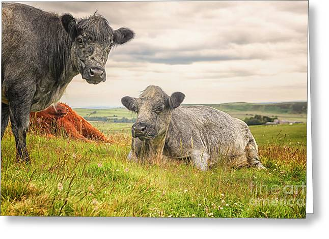 Three Cows Greeting Cards - Colorful highland cattle Greeting Card by Patricia Hofmeester