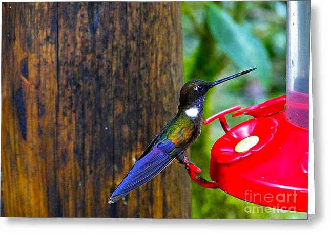 Hovering Greeting Cards - Colorful Hummingbird In Mindo Greeting Card by Al Bourassa