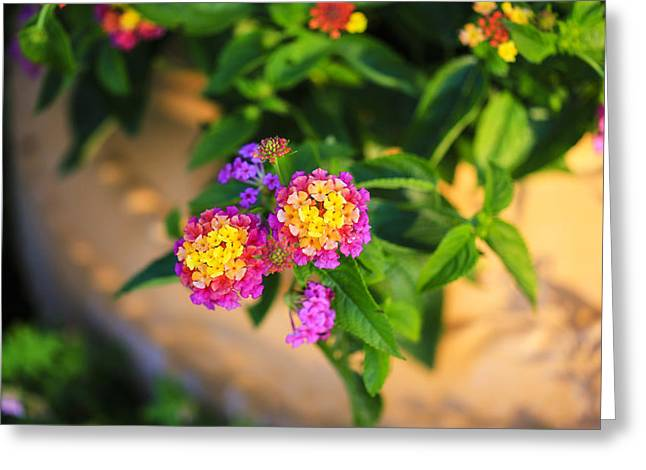 Sunlight On Flowers Greeting Cards - Colorful Lantana Greeting Card by Rachel Cohen