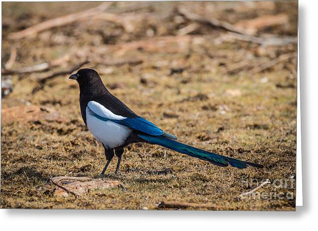 Colorful Magpie Greeting Card by Mitch Shindelbower
