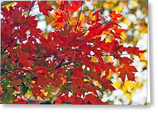 Red Leaves Greeting Cards - Colorful Maple Leaves Greeting Card by Rona Black