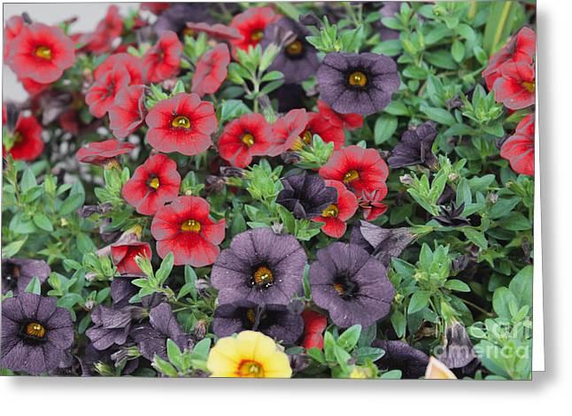 Grow Inside Greeting Cards - Colorful petunias 3 Greeting Card by Claudia Mottram