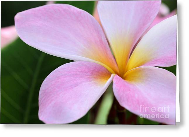Florida Flowers Greeting Cards - Colorful Pink Plumeria Flower Greeting Card by Sabrina L Ryan