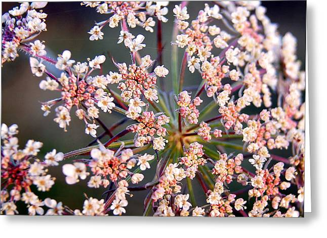 Wisconsin Wildflowers Greeting Cards - Colorful Queen Annes Lace Greeting Card by Bill Pevlor