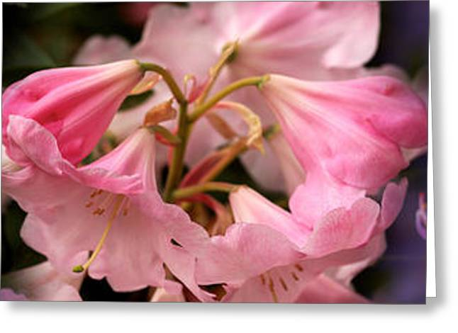 Colorful Rhododendrons Flowers Greeting Card by Panoramic Images