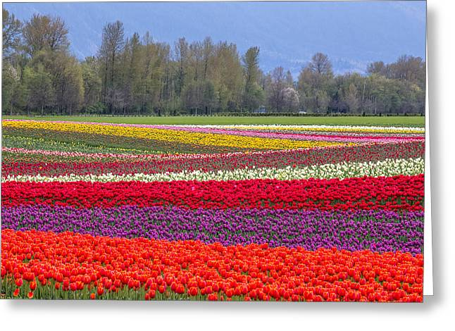 Most Greeting Cards - Colorful rows of Tulips in Agassiz BC Greeting Card by Pierre Leclerc Photography