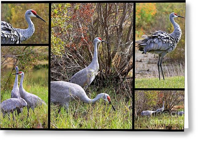 Sandhill Cranes Greeting Cards - Colorful Sandhill Crane Collage Greeting Card by Carol Groenen