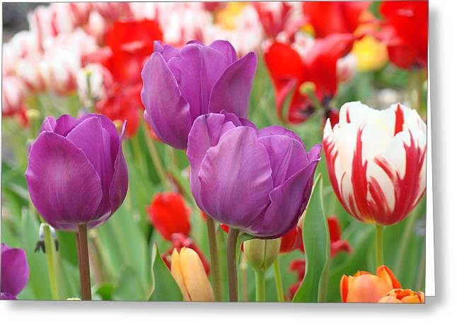 Popular Flower Art Greeting Cards - Colorful Spring Tulips Garden Art Prints Greeting Card by Baslee Troutman