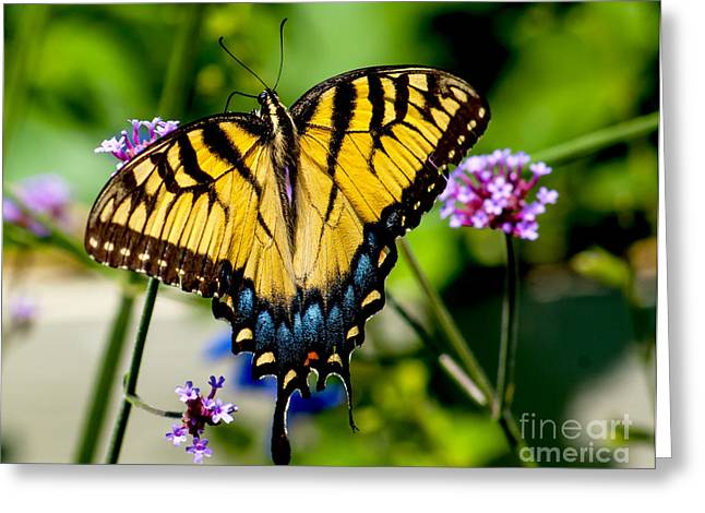Tiger Swallowtail Greeting Cards - Colorful Tiger Swallowtail Butterfly Greeting Card by Nick Zelinsky