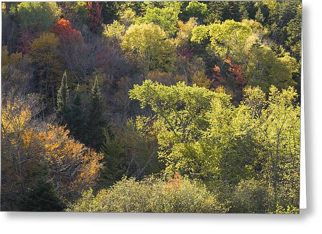 Backlit Greeting Cards - Colorful Trees In Maine Forest Greeting Card by Keith Webber Jr