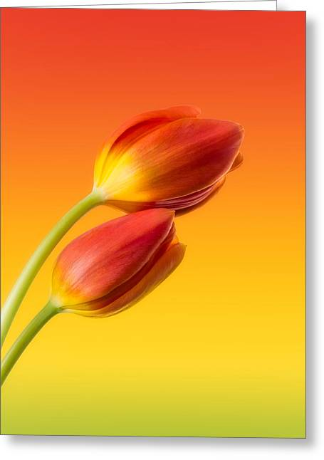Orange Greeting Cards - Colorful Tulips Greeting Card by Wim Lanclus