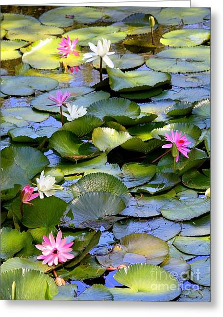 Water Garden Greeting Cards - Colorful Water Lily Pond Greeting Card by Carol Groenen