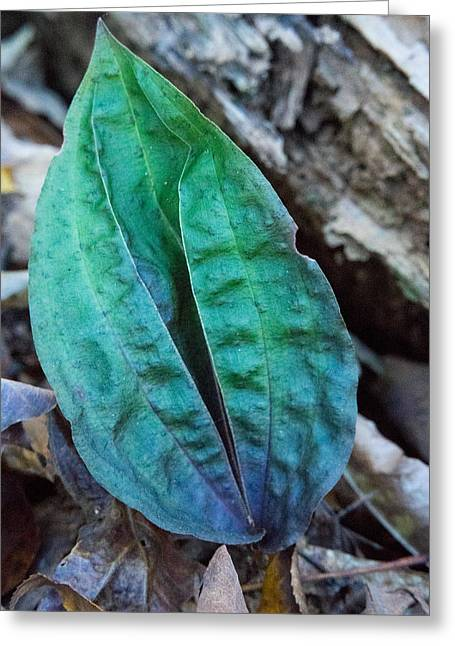 Ovates Greeting Cards - Colorful Woodland Leaf 2 Greeting Card by Douglas Barnett