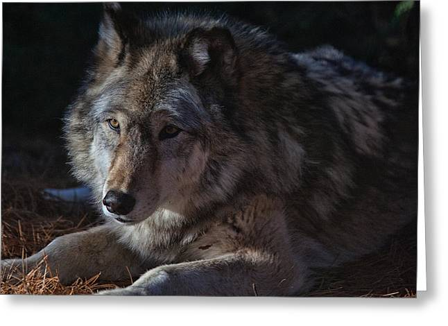 Colors Of A Wolf Greeting Card by Karol Livote