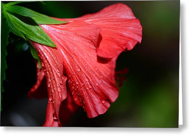 Dripping Rose Greeting Cards - Colors of Love. Red Hibiscus Flower Greeting Card by Connie Fox