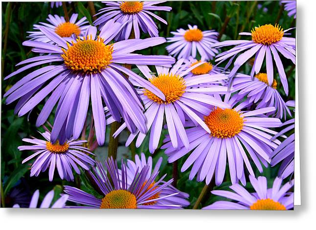 Asters Greeting Cards - Colors of Spring Greeting Card by Mountain Dreams