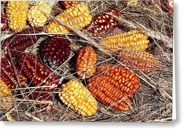Corn On The Cob Greeting Cards - Colourful Corn Cobs Greeting Card by James Brunker
