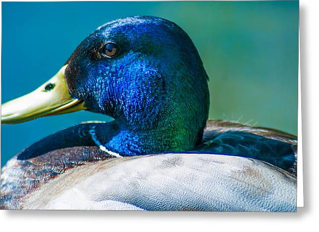 Duck Dynasty Greeting Cards - Colourful Mallard Greeting Card by Optical Playground By MP Ray