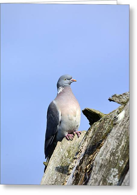Feeding Mixed Media Greeting Cards - Columba palumbus Greeting Card by Toppart Sweden