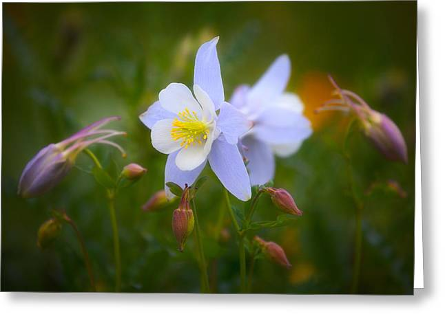Wildflower Fine Art Greeting Cards - Columbine Greeting Card by Darren  White