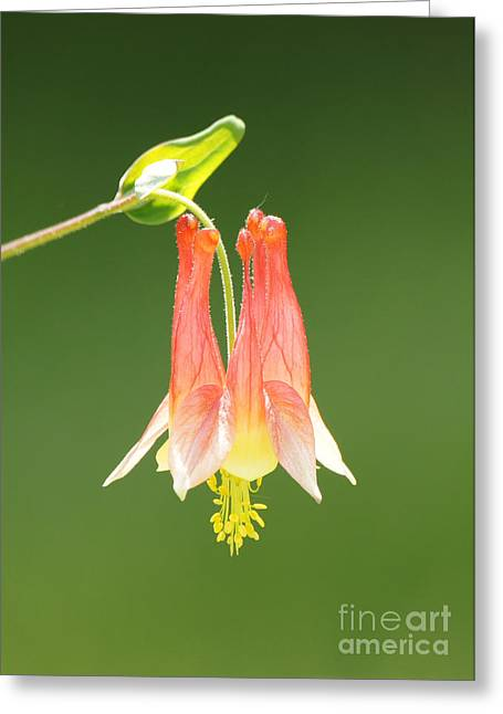 Reflections Of Infinity Greeting Cards - Columbine Flower in Sunlight Greeting Card by Robert E Alter Reflections of Infinity