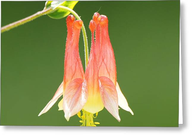 Columbine Flower in Sunlight Greeting Card by Robert E Alter Reflections of Infinity