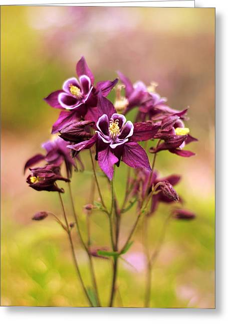 Columbine Greeting Cards - Columbine Greeting Card by Jessica Jenney
