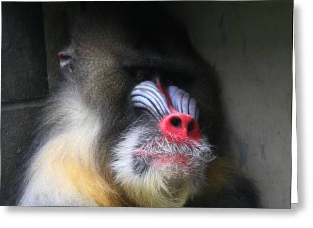 Ape. Great Ape Greeting Cards - Columbus Zoo Mandrill Greeting Card by Dan Sproul
