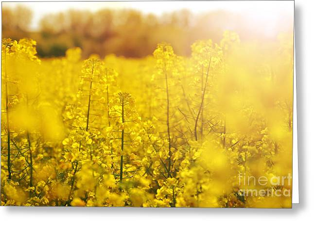 Close Focus Nature Scene Greeting Cards - Colza field with sunset Greeting Card by Gregory DUBUS