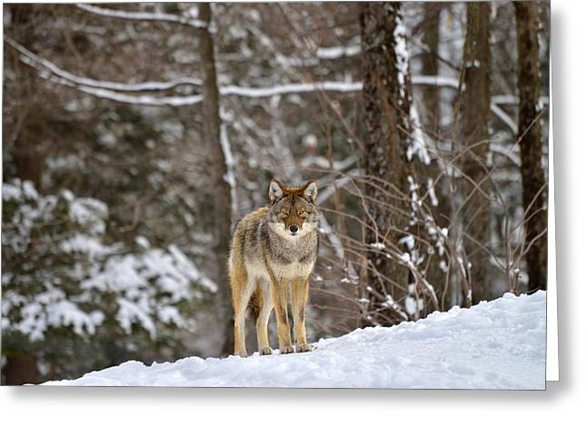 C. Latrans Greeting Cards - Come Closer Greeting Card by Joshua McCullough