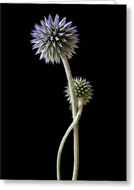 Blue Thistles Greeting Cards - Comfort Greeting Card by Maggie Terlecki