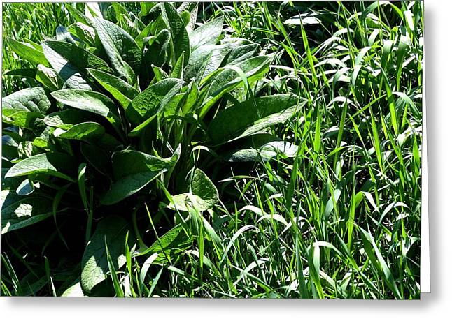 Thrive Greeting Cards - Comfrey Plant In Tall Grass Greeting Card by Will Borden