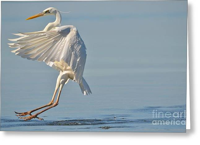 Coming In For A Landing Greeting Card by Carol McGunagle
